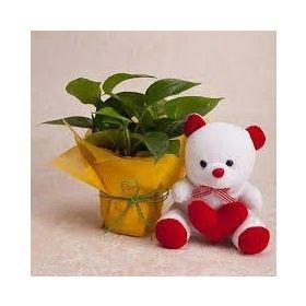 Money Plant N Teddy Combo